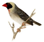 Male blackfaced Red-billed Quelea