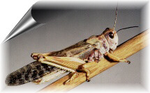 Adult brown locust
